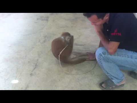 A cool monkey is doing sit-ups ! ( Thailand, 2013)