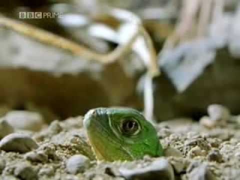 Green Iguana Documentry Part 1