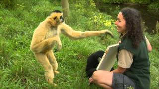 getlinkyoutube.com-Conservation Connection: White Cheeked Gibbon