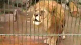 LIONS2 Saying ALLAH (Miracles of ALLAH)