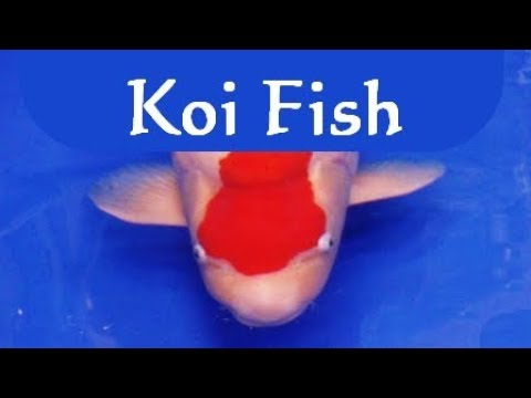Koi fish world champion 2013 l! بطل :Cantik berwarna ikan mas