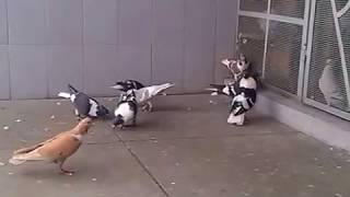 getlinkyoutube.com-Ustad Anil Sood Pigeons 42 Pathait Pigeons