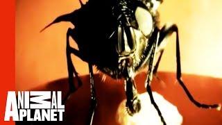 Derinizin altında yaşayan sinek kurtları, Dermatobia hominis..