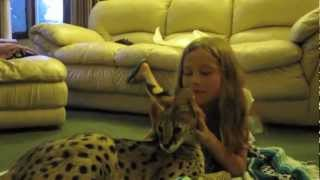 getlinkyoutube.com-Serval Cat Playing With Kids