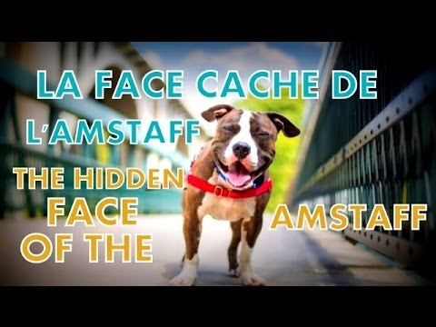LA FACE CACHE DE L'AMSTAFF / THE HIDDEN FACE OF THE AMSTAFF