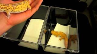 getlinkyoutube.com-Super Giant Leopard Gecko vs Normal Sized - Super Giant Tremper Sunglow and Radar