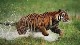 getlinkyoutube.com-شراسة النمور | خلق ليفترس | حيوانات مفترسة |النمر البنغالي | tigers attack