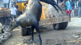Blue bull rescued by OIPA - PFA Haryana - Abhishek Kadyan