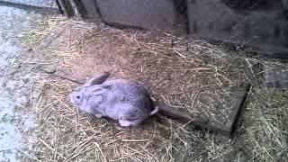getlinkyoutube.com-Плюсы и Минусы содержания кроликов в вольере.