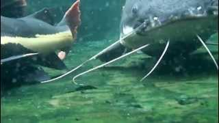 "getlinkyoutube.com-Large 34"" Redtail Catfish and Tiger Shovelnose"