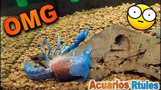 getlinkyoutube.com-Procambarus Alleni pillada mudando IMPRESIONANTE
