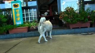 getlinkyoutube.com-ガソリンスタンド看板犬のハク
