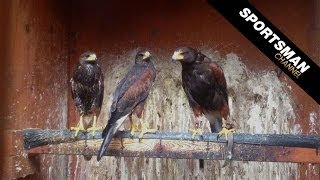 getlinkyoutube.com-Falconry: Hunting with Harris's Hawks Part 1