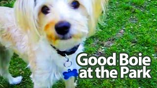 getlinkyoutube.com-Charlie (Morkie Puppy) going for a walk to the park