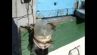 Capcana de viespi