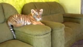Cachorro de tigre jugando en los sillones con perro chihuahua