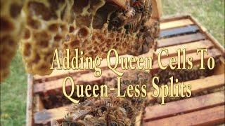 getlinkyoutube.com-Making Queen-Less Splits/ Adding Queen Cells