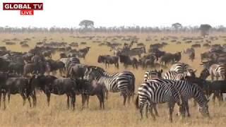 Tazama Kipindi cha Kuvutia cha Wanyama, Porini Ukizubaa Umeliwa