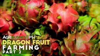 getlinkyoutube.com-How to establish dragon fruit farm : Dragon Fruit Farming Part 2 #Agriculture