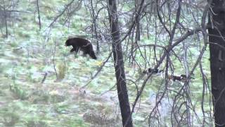 getlinkyoutube.com-Archery Bear Hunt With Hounds 2013