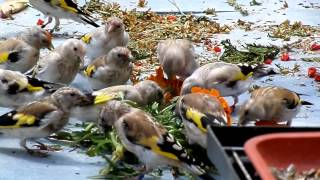 getlinkyoutube.com-goldfinch 2013