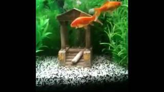 getlinkyoutube.com-Gold fish mating or fighting