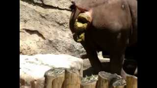 getlinkyoutube.com-Hilarious Animals - Rhino Taking a Dump