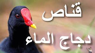 صيد ( دجاج الماء ) بالبندقية فايروخ 80 نمرة1- 21\10\2013 مصر