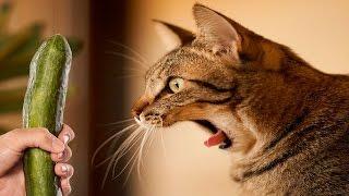 getlinkyoutube.com-Γάτες Φοβάται Αγγούρια - Γάτες Vs Αγγούρια - Αστείες Γάτες 2016