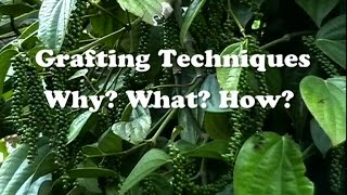 getlinkyoutube.com-Grafting Techniques - Why? What? How ?