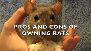 The Pros and Cons of Fancy Rats as Pets