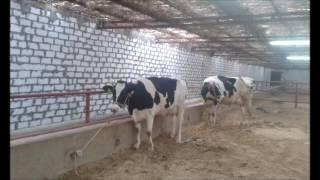 getlinkyoutube.com-مزارع الهاشمية للانتاج الحيوانى ( مزرعة تسمين عجول )