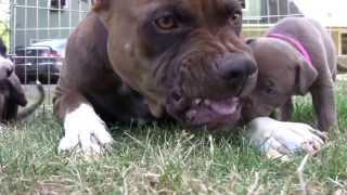 getlinkyoutube.com-American Pitbull Terrier are not Aggressive