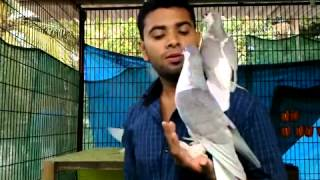 getlinkyoutube.com-Pigeon Kerala   Variety Feeding   YouTube
