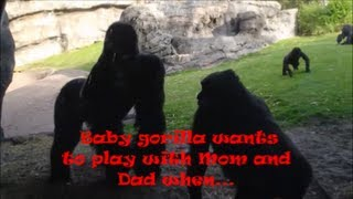 getlinkyoutube.com-Baby Interferes as Giant Silverback Gorillas Mating at Disneys Animal Kingdom