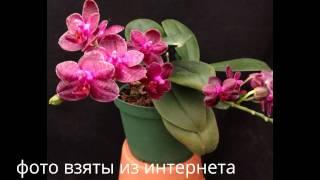 getlinkyoutube.com-Орхидея: Phal. I-Hsin Spot Eagle