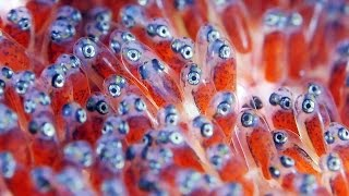 getlinkyoutube.com-Clownfish Eggs - The Real Finding Nemo