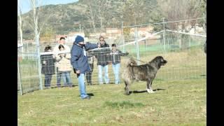 getlinkyoutube.com-Campeonato Nacional CEPPC 2014 Trabajo y Morfología