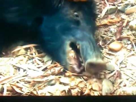 Homem é atacado por javali selvagem