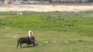 getlinkyoutube.com-Bull Fight 2014