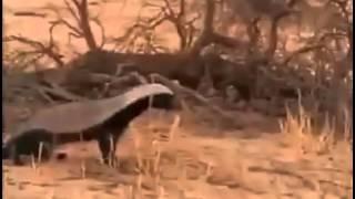 getlinkyoutube.com-حيوان غرير العسل يفتك بثعبان سبحان الله