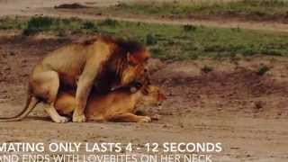 getlinkyoutube.com-Lions Mating - Serengeti National Park, Tanzania by Boutique Safaris Ltd