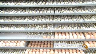 getlinkyoutube.com-Quails farming in Kenya