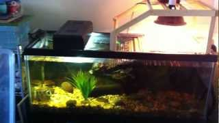 getlinkyoutube.com-Aquarium setup for two adult aquatic turtles (RES & False Map turtles)