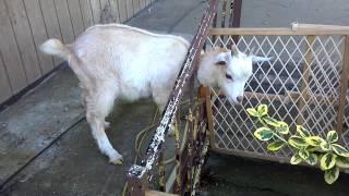 getlinkyoutube.com-Severely retarded goat