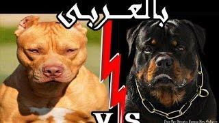 getlinkyoutube.com-مقارنة بين كلاب الروت فيلر و البيتبول شرح بالعربي   PITBULL VS ROTTWIELER