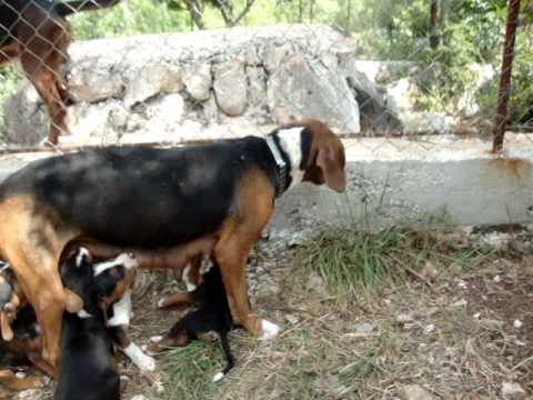Srpski trobojni goniči