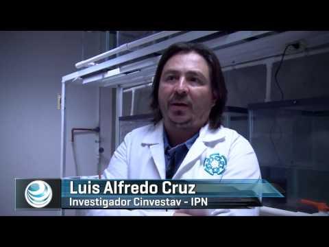 Científicos mexicanos trabajan con ajolotes clave de la medicina regenerativa