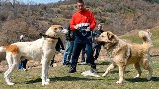 getlinkyoutube.com-Fight & shepherd dogs in Macedonia I. - Боевой да Овчарка собака Македония