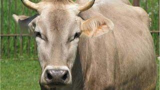 getlinkyoutube.com-Top 10 dairy cow breeds
